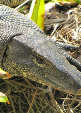 Wildlife On One (BBC1) Monitor Lizards